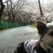 巾着田の桜!