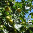 実りの秋 柿