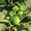家庭菜園記17-6-2
