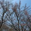玉川上水駅前の寒桜が見ごろです!