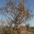 12月15日16日17日 寒風下で八つ頭掘りと堆肥づくり