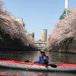 カヌーで目黒川の花見