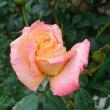 雨の後の朝に、とっても美しいフロージン(二番花)が咲いています