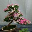 盆栽~サツキの魅力