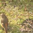 18 01 27  春待つ野鳥 シロハラ、ヒヨドリ、ジョウビタキ、メジロ