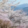 信濃路の春・・・信州上田・・・黄色いスイセン10万本の・・・国際音楽村の風景