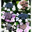クマルと紫陽花