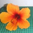 北風とハイビスカスの花の大きさ