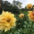 秋の花、色鮮やかにダリア満開 ハロウインパーティー他・ 9/17誕生花・・リクニス