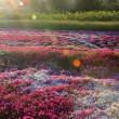 芝桜の目覚め