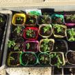 グリーンピースやスナップエンドウの定植準備