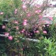 これは、ねむの木もどき、という花ですが