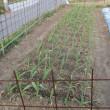 ジャガイモやっと植えた
