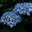 興禅院で(6月) ―紫陽花―