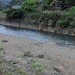 大美川~戸口川:コウノトリJ0067の観察と滞在記録更新