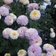 頂いた1株の菊