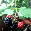 No.1229 ブラックベリー そしてベリーの収穫