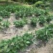収穫(じゃがいも、パプリカ、トマト)