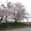 週末桜は満開です♪