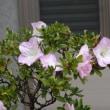 季節外れのサツキの花が・・・
