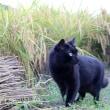 猫ちゃんの稲刈り