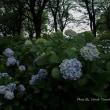 夕刻の智光山公園のアジサイ