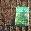 スナップエンドウを初収穫しました。