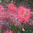秋の訪れとともに土手一面に咲く曼珠沙華