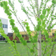 病院の木はカツラ