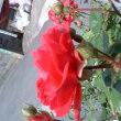 薔薇の奇蹟?