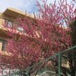 八重桜が綺麗!