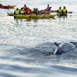 デンマーク(Denmark 🇩🇰):  Whale dies