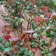 公園の秋バラの新芽の様子、などなど