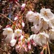 京都御苑の春の花