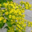 9月19日の誕生花「オミナエシ」