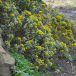 関東の野草好き仲間のヤマラッキョウとイソギクの観察会