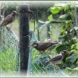 チコリの花と鳥たち