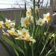 3月の庭。。。その1 スイセン