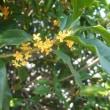 秋の羽生にて ―金木犀―