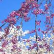 ことしの桜