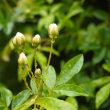 雨水をふくんでうなだれる黄木香バラ