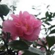 オキザリスと道辺のピンクの山茶花