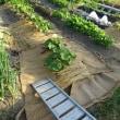 藁を敷きはじめました