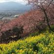 「まつだ桜まつり」 河津桜八分咲き
