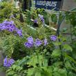 白の縁取りのある 紫の花!