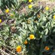 おはようの花」 フユシラズ(冬知らず)12月