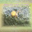 フォト575交心zrm2105『 蝉塚を脱けて何処へ秋の蜘蛛 』