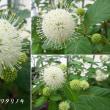 タニワタリノキの花は