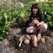 サツマイモの試し掘り