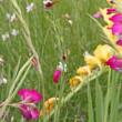 ブル-ボネットの花